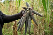 hand holding millet