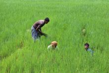 Men working in a field in Kalapara, Pathuakali District, Bangladesh